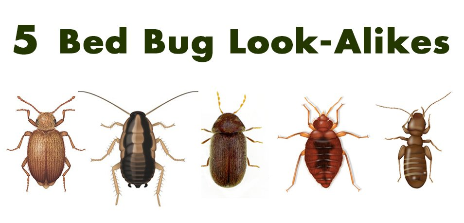 other bugs looking like bed bugs