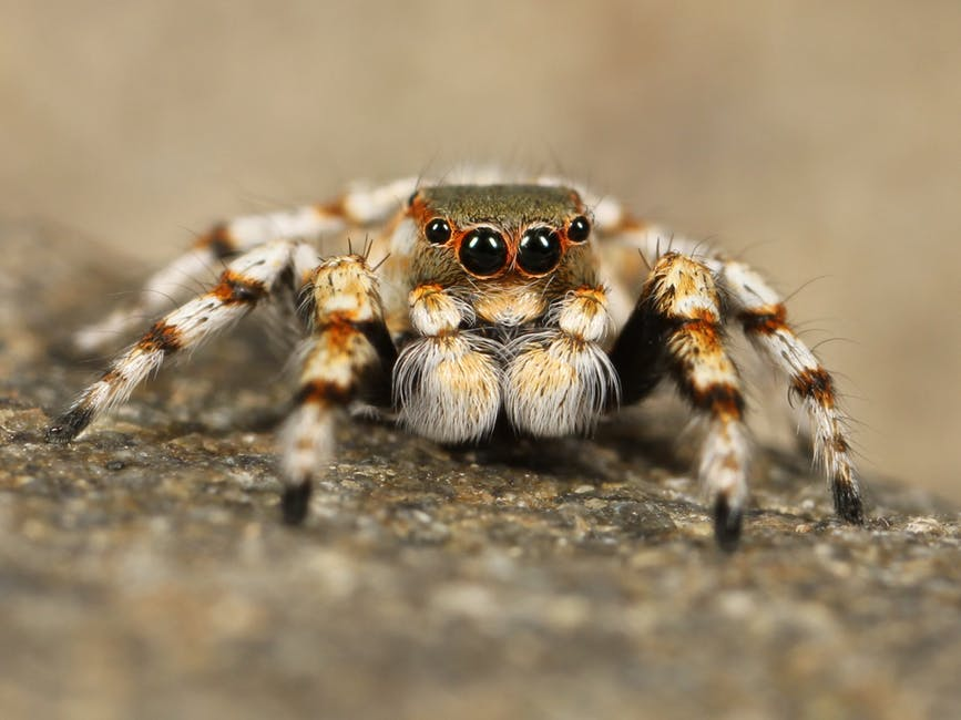 jumping spider is a bed bug predator