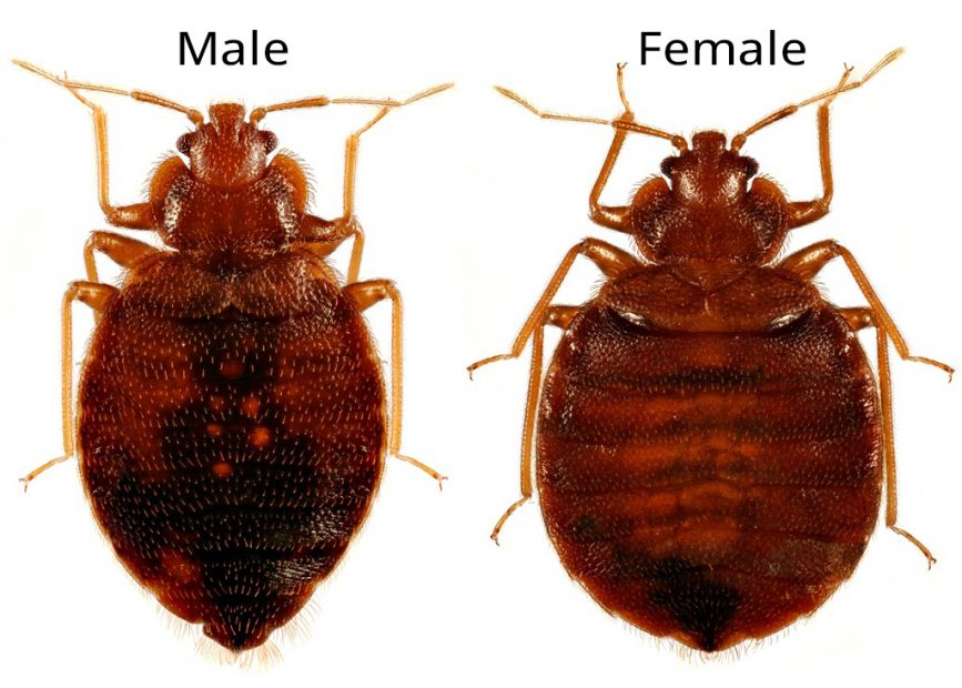 male vs female bed bugs